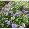 明月院や長谷寺だけじゃない!鎌倉らしくゆったり紫陽花を楽しむ散歩道「妙本寺界隈」。