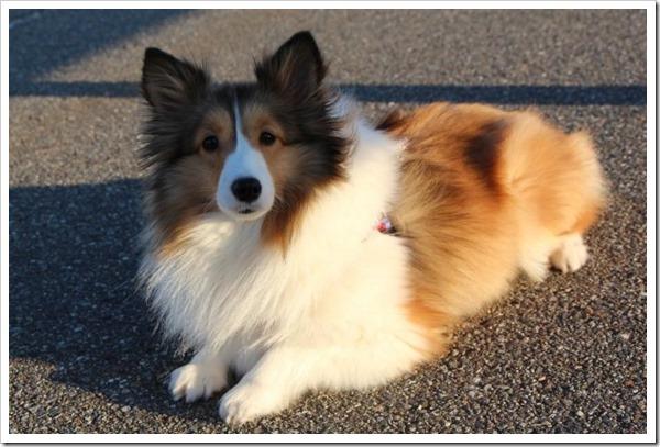 牧羊犬ってどんな犬?牧羊犬の歴史や特徴、ペットにする時の注意点について。