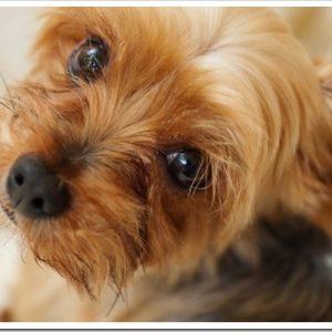 明るく活発なテリアを愛犬にしたい!テリアグループの歴史や特徴、性格について。