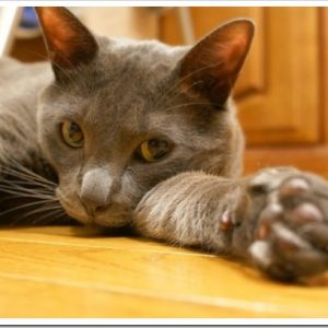 銀色に輝く美しい猫、コラット。コラットの特徴や性格について。