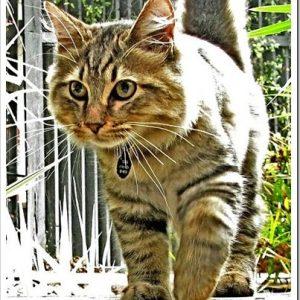 丸い尻尾の猫、アメリカンボブテイル!特徴や性格について。
