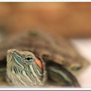 とっても長生きなミドリガメ!ミドリガメの特徴と飼育方法について。