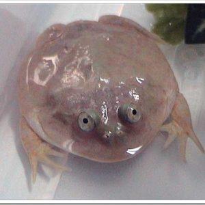 丸くてヒョウキンな顔が人気!バジェットガエルの特徴と飼育のポイントについて。