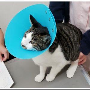 猫の去勢手術をした!術後のケアはどうしたら良いの?エリザベスカラーは?