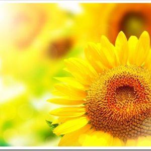 夏を代表する花、ヒマワリ。人気の育てやすい品種8選!
