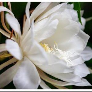 夜に咲く純白の花を見てみよう!月下美人の育て方について。