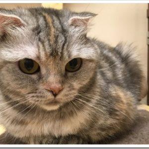 立った耳が魅力的!スコティッシュストレートの特徴と飼育方法のポイントについて。