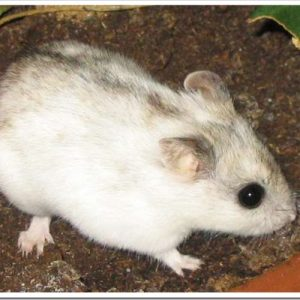 尻尾が長いハムスター、チャイニーズハムスターの特徴と飼育のポイントについて。